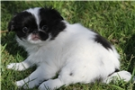 Picture of Lovable little Finley! AKC Registered!