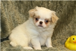 Picture of Sweet Little Yoshi! AKC Registered!