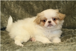 Picture of Sweet Little Rico! AKC Registered!