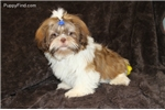 Picture of Sweet and Cuddly Sarge - AKC Registered