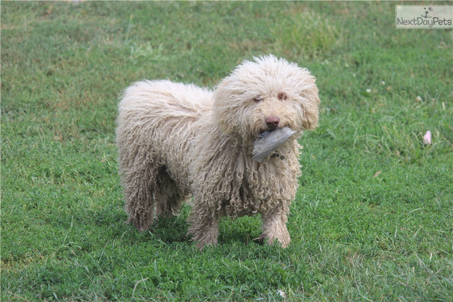 Spanish Water Dog Puppies For Sale Price