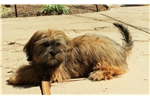Picture of 4 mo male AKC Lhasa Apso - Training started!