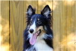 Picture of Professionally trained, 6mo, AKC Sheltie