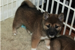 Picture of Adorable female Shiba Inu puppy, Champ.lines