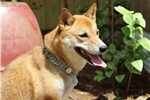 Picture of Professionally trained, 1yo, AKC Shiba Inu female