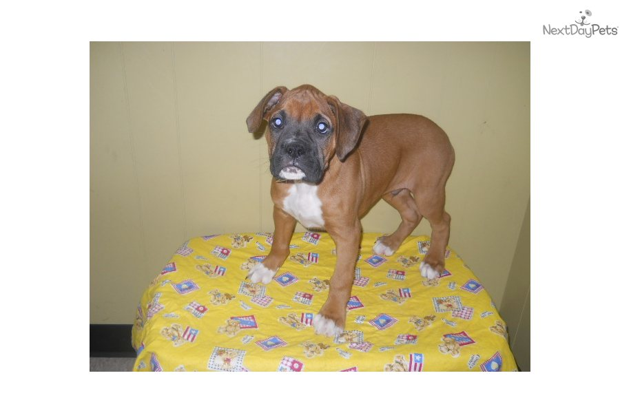 Boxers For Sale New Jersey