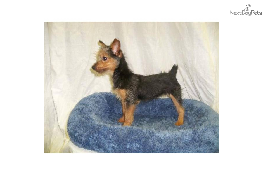 Terrier - Yorkie puppy for sale for $310. Fox Terrier/Yorkie Mix- NJ ...