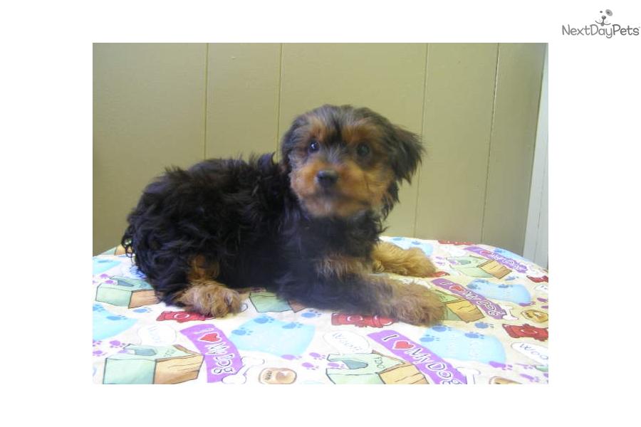 Yorkshire Terrier Nj Yorkshire Terrier - Yorkie