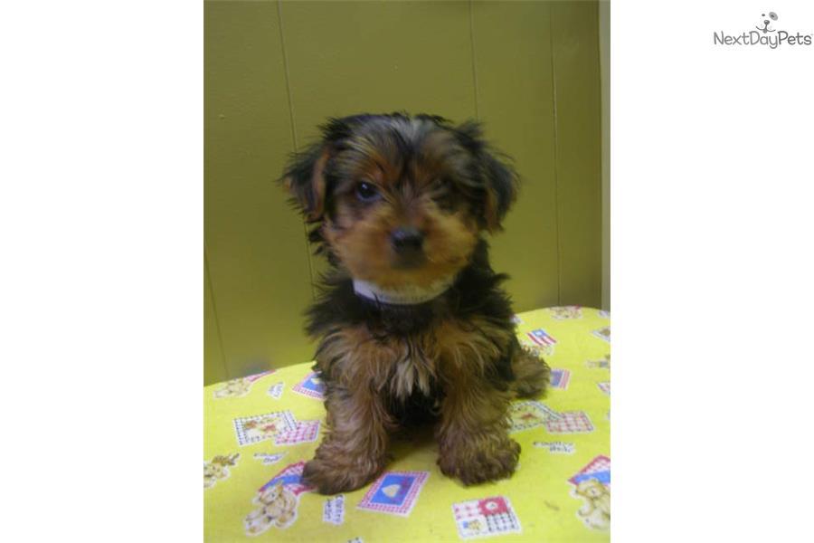 Yorkshire Terrier Nj Pictures