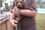 Picture of chesapeake bay retriever male 8 weeks A.KC reg