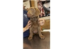 Picture of chesapeake bay retrieiver puppies for sale