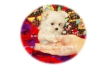 Featured Breeder of Malteses with Puppies For Sale
