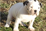 Picture of Wide and Bully White w/ Brindle Spots -Green Eyes