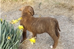 Picture of Chocolate Brindle and White with Green Eyes