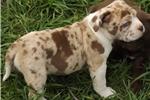 Picture of Amazing Chocolate Merle with Green /Blue Eyes