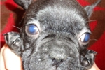 Picture of Brindle  Male Boaz