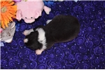 Picture of DWA Black Tri Femal