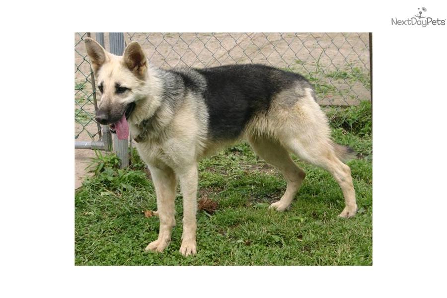 German Shepherd puppy for sale near Northern Panhandle, West Virginia ...