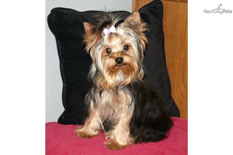 Full Grown Yorkshire Terrier | picture of a full grown ...