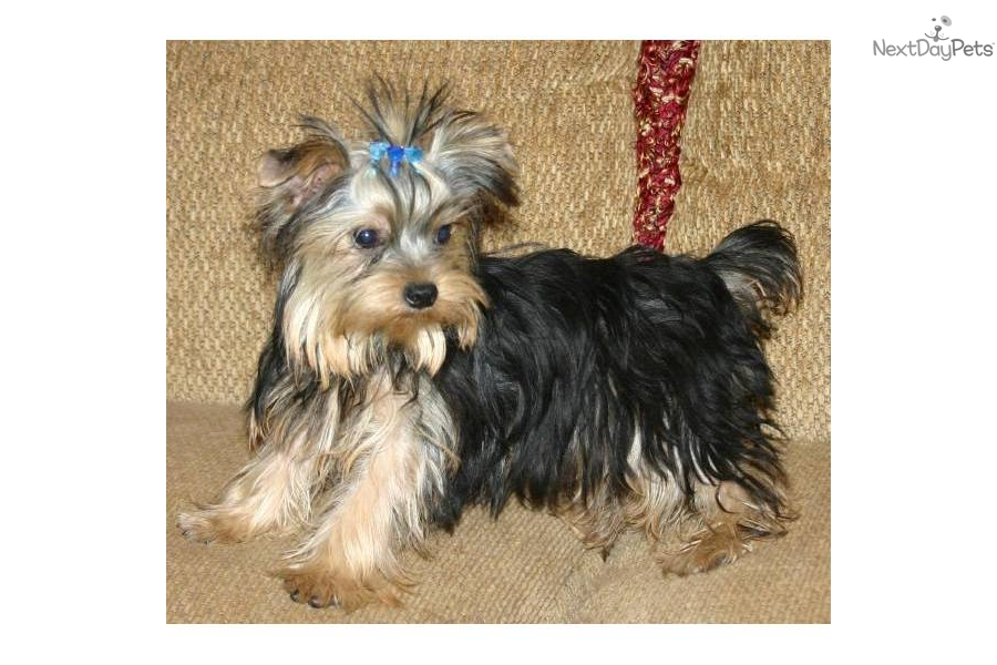 AKC Male - Full Grown  amp  T-Cup  LOOK AT HIM  Full Grown Yorkie