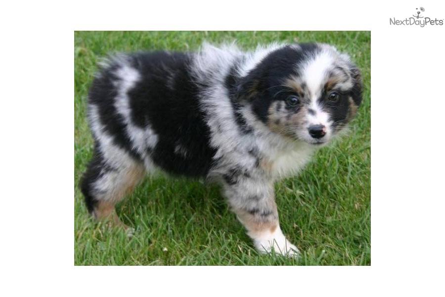 Male he s housebroken too miniature australian shepherd puppy