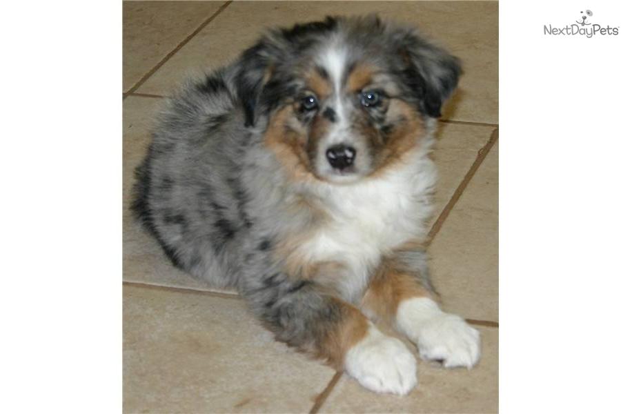 Meet merle boy a cute miniature australian shepherd puppy for sale for