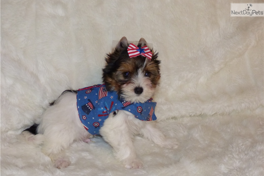 lareck biewer terrier puppy for sale near wichita kansas c1a6f48c 13e1. Black Bedroom Furniture Sets. Home Design Ideas