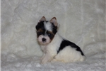 Picture of a Biewer Puppy