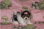 Picture of Biewer Yorkshire Terrier