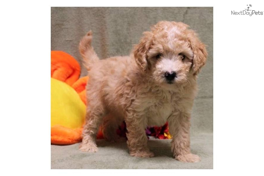 Goldendoodle puppy for sale near Joplin, Missouri ...