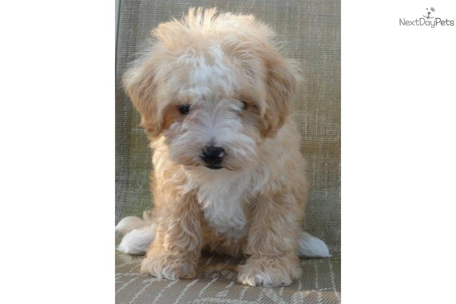 whoodle puppy for sale near joplin  missouri