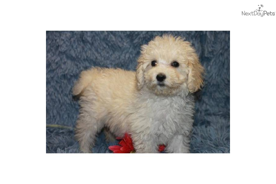 """Puppy Diamond Dog Food >> Meet Bernice a cute Whoodle puppy for sale for $800. NATURAL tail! Medium Whoodles! """"BERNICE"""""""