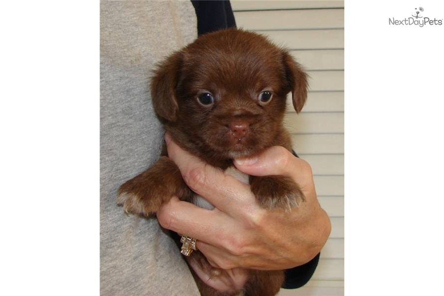 Pin Shorkie Tzu Puppies For Sale Youtube on Pinterest