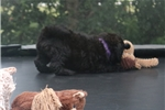Picture of Mini Bell!  Natural Tail! Video!