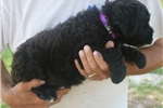 Picture of Mini Lily!  Natural Tail! Video!