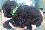 Picture of Mini Bandit!  Natural Tail! Video!
