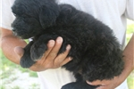 Picture of Mini Louie!  Natural Tail! Video!