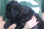 Picture of Mini Beka!  Natural Tail! Video!