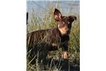 Australian Kelpie for sale