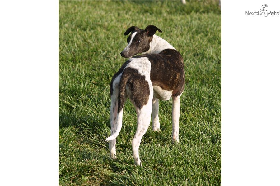 Meet Jasper a cute Whippet puppy for sale for $1,500. ~Jasper~AKC
