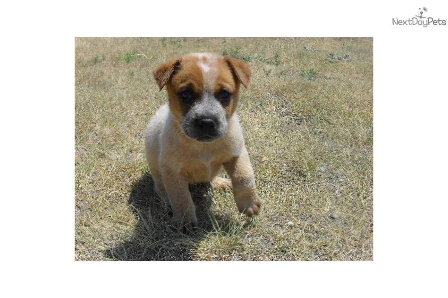 ... blue heeler puppies for sale blue merle australian shepherd puppies