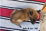 Picture of Ada & Jax' #1 Male (AKC Registered)