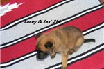Picture of Lacey and Jax' 2M - AKC Registered Litter