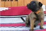 Picture of Lacey and Jax' 3M - AKC Registered Litter