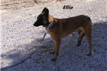 Picture of Ellie- Spayed Rescue Belgian Malinois