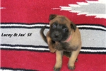 Picture of Lacey and Jax' 5F - AKC Registered Litter