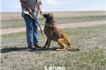 Picture of Freebie & Laruso's #1 Male (AKC Registered)