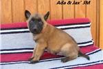 Picture of Ada & Jax' #3 Male (AKC Registered)