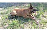 Picture of Freebie & Laruso's #2 Male (AKC Registered)