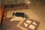 Picture of AKC Maggie 1F